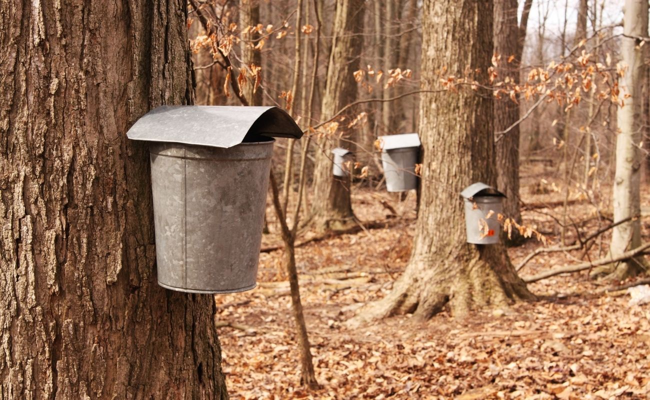 Maple syrup buckets being filled by the maple trees