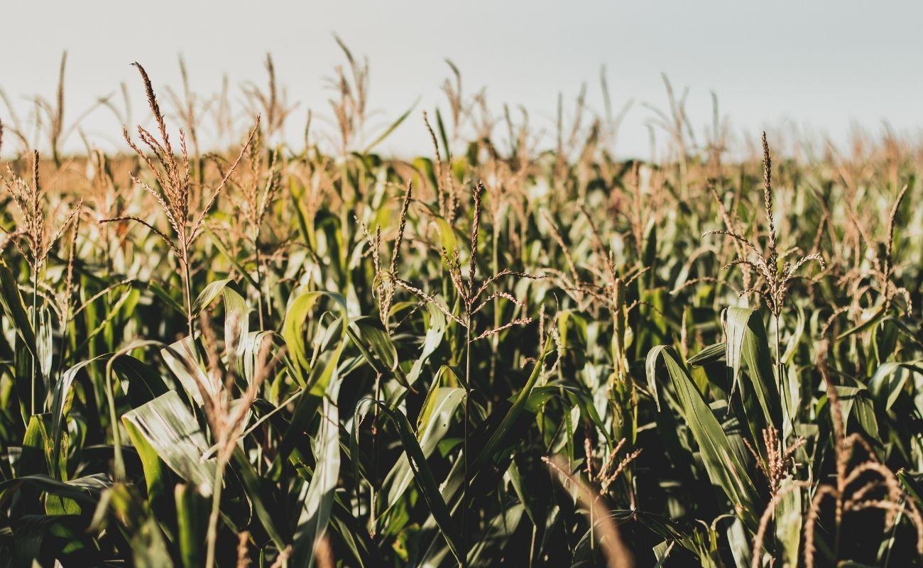 Corn at the corn maze in Killington